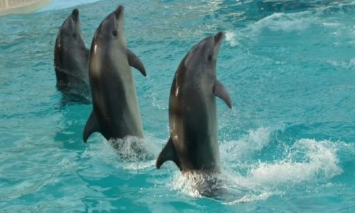 水族館でショーをしているイルカは全てメス